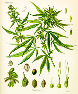 Cannabis_sativa_(Köhler)